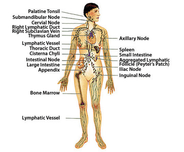 support the lymphatic system | american holistic health association, Human Body
